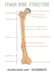 Femur bone structure. Human health concept useful for medical, anatomy and biology educational poster design. Vector illustration with detailed information isolated on a white background.