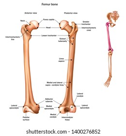 The femur or thigh bone with the name and description of all sites. Anterior and posterior view. Human anatomy. Vector illustration isolated on a white background.
