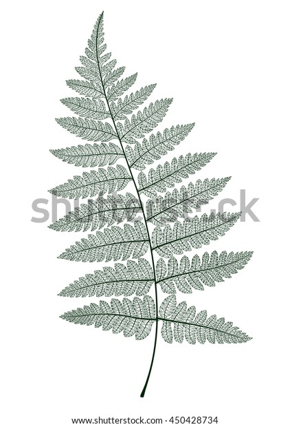 Fern leaf isolated. Vector realistic detailed illustration.