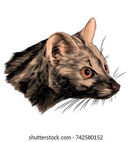 ferret geneta sketch head vector graphics  color picture