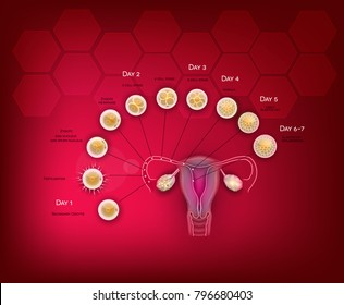 Fertilization and embryo development from ovulation till Blastocyst implantation in the uterus