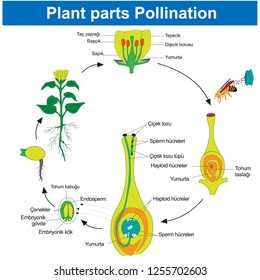 Fertilization in plants Plant parts Pollination, Biology Course helper shapes, human body, cell, joints and bones