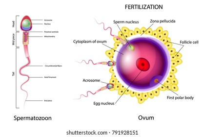 Fertilization is the union of an ovum and a spermatozoon. When a sperm contacts the surface of an egg, it initiates metabolic reactions within the egg that trigger the onset of embryonic development.