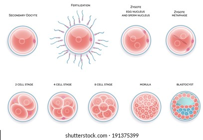 Fertilized cell development. Stages from fertilization till morula cell.