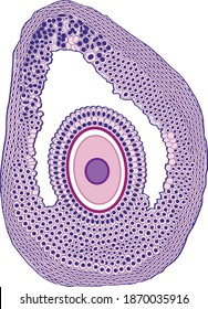 The fertilized egg, the structure