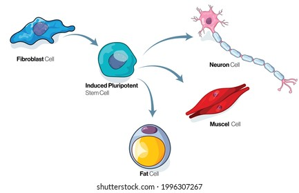Fibroblast cell differentiation pathway illustration or cellular reprogramming.