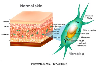 Fibroblast and Human skin structure (Muscles, Fat cell, Hyaluronic acid, Elastin, Collagen, Fibroblast).