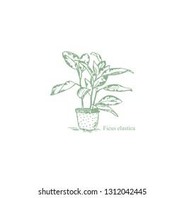 Ficus elastica.Houseplants. Decorative Deciduous potted flowers. Ficus in a pot. Graphic ficus.