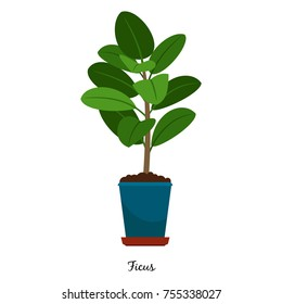 Ficus plant in pot isolated on the white background, vector illustration