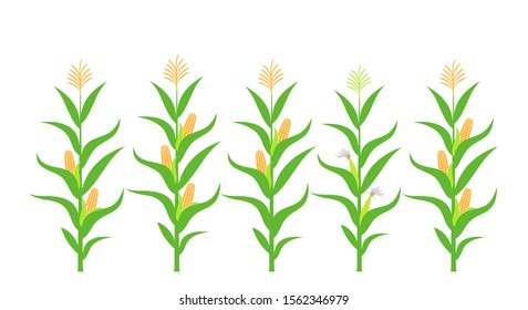 Field with corn. Isolated corn on white background