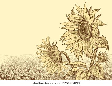 Field of sunflowers with large flowers in the foreground.Hand-drawn vector illustration in vintage style. Floral template.