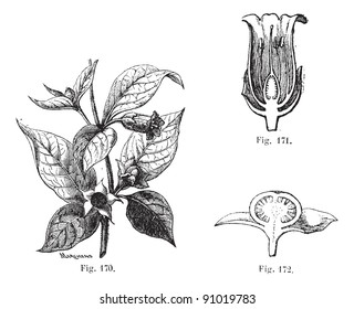 Fig. 170. Belladonna with its leaves, flower and fruits. Fig. 171. Cut flower of belladonna. Fig. 172. Half of the fruit of belladonna, Usual Medicine Dictionary - Paul Labarthe - 1885.