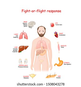 fight-or-flight, or Stress response. physiological reaction that occurs in response to threat to life. Adrenaline and Norepinephrine. male silhouette with highlighted internal organs. Vector diagram