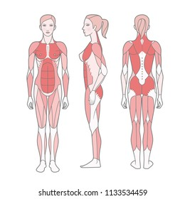 Figure of the woman, the scheme of the basic trained muscles. Front, rear and side views. Vector. Isolated on white background,  EPS10