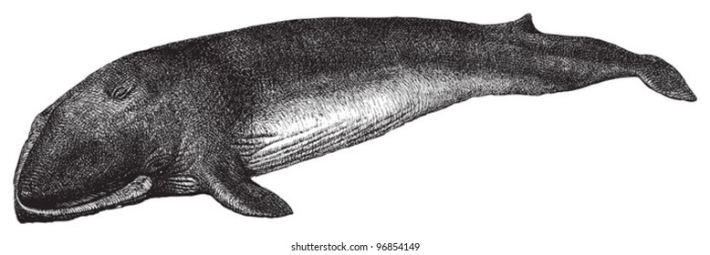 Fin whale or common rorqual (Balaenoptera physalus) / vintage illustration from Meyers Konversations-Lexikon 1897