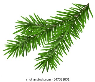Fir branch. Isolated on white illustration