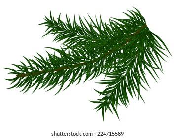 fir branch on white background vector