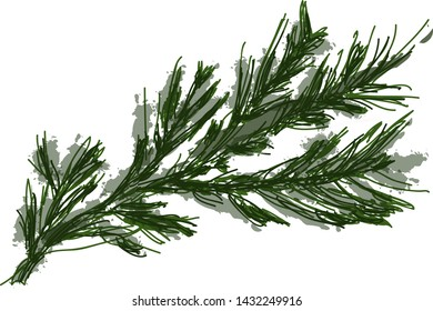 fir branch in vector isolated