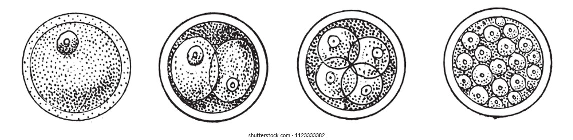 First phases of the evolution of the cell, or of the egg, after fertilization, vintage engraved illustration. From Natural Creation and Living Beings.
