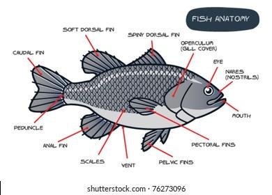 fish anatomy images