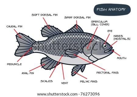 Fish Anatomy Stock Vector Royalty Free 76273096 Shutterstock