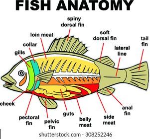 fish anatomy images stock photos vectors shutterstock rh shutterstock com