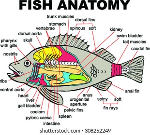 fish anatomy images, stock photos \u0026 vectors shutterstock