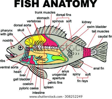 Fish Anatomy Vector Illustration Stock Vector Royalty Free
