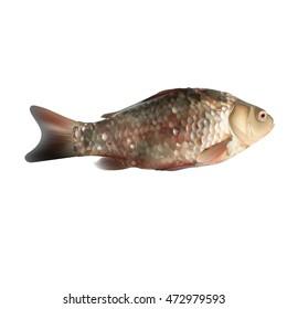 fish, carp, vector