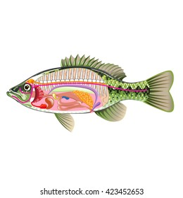Fish diagram images stock photos vectors shutterstock for Fish without bones