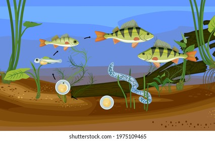 Fish life cycle. Sequence of stages of development of perch (Perca fluviatilis) freshwater fish from egg to adult animal in pond