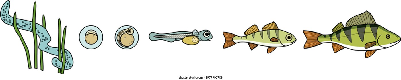 Fish life cycle. Sequence of stages of development of perch (Perca fluviatilis) freshwater fish from egg to adult animal