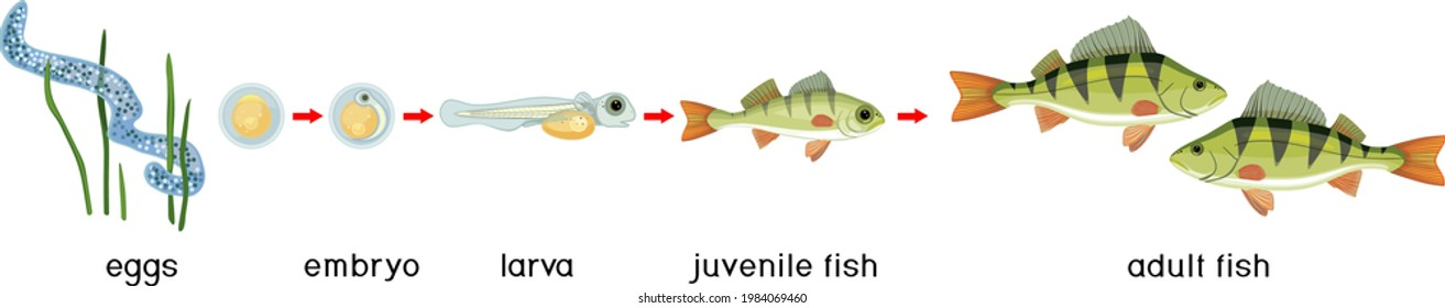 Fish life cycle. Sequence of stages of development of perch (Perca fluviatilis) freshwater fish from egg to adult animal with titles