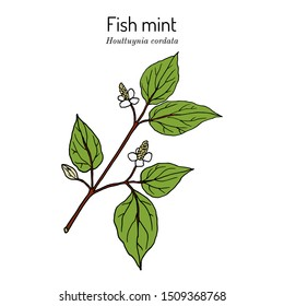 Fish mint (Houttuynia cordata), or chameleon plant, heart leaf, fish wort, Chinese lizard tail, or bishops weed, medicinal plant. Hand drawn botanical vector illustration
