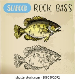Fish sketch. Rock bass or goggle-eye, red perch for signboard. Hand drawn underwater animal for sport fishing trophy or restaurant menu. Nautical and maritime, nature and ocean, sea, river theme