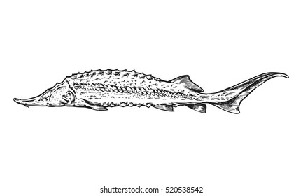 Fish Sturgeon Black Sea. Ink engraving vector illustration.