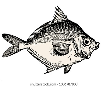 Fish vector illustration - vintage engraved style