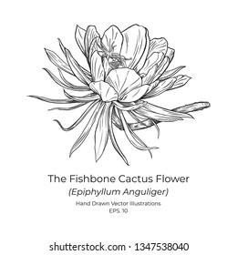 the fishbone cactus or zig zag cactus, Epiphyllum anguliger Vector Illustrations