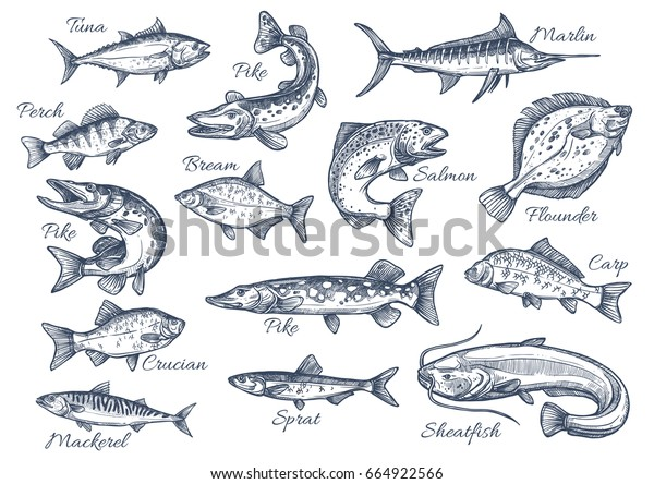 Fishes sketch icons of tuna, perch and pike or salmon and marlin. Vector set of saltwater sea or freshwater river fish species flounder, sheatfish or car and sprat mackerel for fishing design