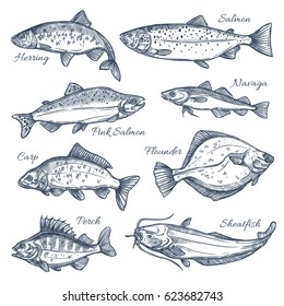 Fishes sketch vector isolated icons. Sea or ocean fish species of herring and pink salmon, navaga or carp and flounder, perch and sheatfish or catfish. Design for fishing catch or fisher sport club