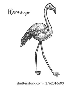Flaming sketch or black and white tropical, africa bird. Hand drawn waterbird standing. Exotic nature wildlife animal. Cartoon vintage illustration for zoology or biology. Sketching and nature theme