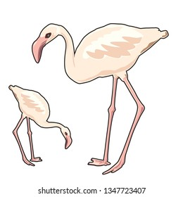 flamingos, bird, vector,
