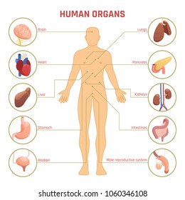 Flat diagram infographics with man silhouette human organs their names and location on white background 3d vector illustration
