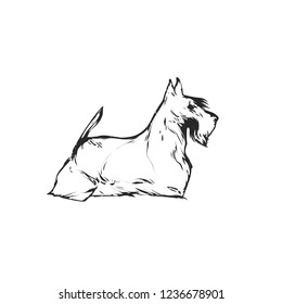 Flat drawing vector illustration - Cute Scotch Terrier