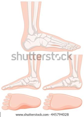 Flat Feet Anatomy Bone Detail Stock Vector Royalty Free 445794028