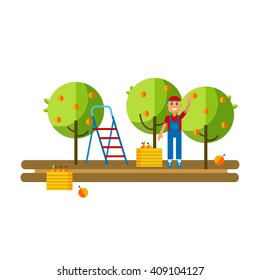 Flat vector illustration harvesting fruits in the apple orchard. Work collects apples in crates at the apple orchard. Apple orchard flat icon.