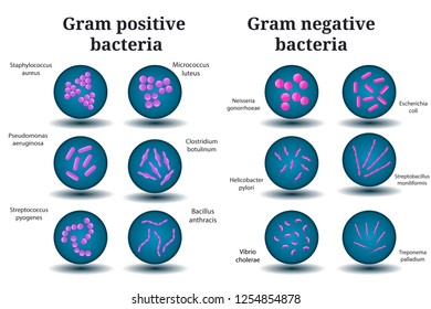 Flat vector microbiology set. Gram positive and Gram negative bacteria. Coccus, bacillus, curved bacteria in Petri dish. Isolated on white