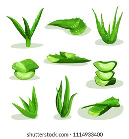 Flat vector set of bright green aloe vera leaves and pieces. Medicinal plant used in cosmetology and pharmacy. Elements for cosmetic products label