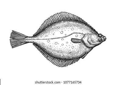 Flatfish. Ink sketch of flounder. Hand drawn vector illustration isolated on white background. Retro style.