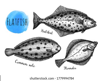 Flatfish. Ink sketch of halibut, common sole and flounder. Hand drawn vector illustration isolated on white background. Retro style.